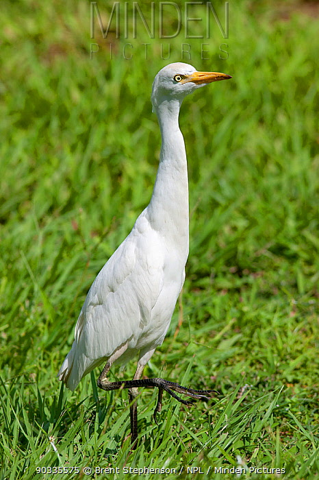 Cattle Egret (Bubulcus ibis) hunting for insects in short grass on Coiba Island, Panama, September  -  Brent Stephenson/ npl