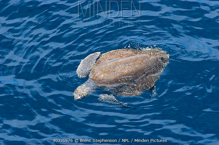 Olive Ridley's Turtle (Lepidochelys olivacea) swimming at sea surface, off the coast of Mexico, Pacific Ocean, September  -  Brent Stephenson/ npl