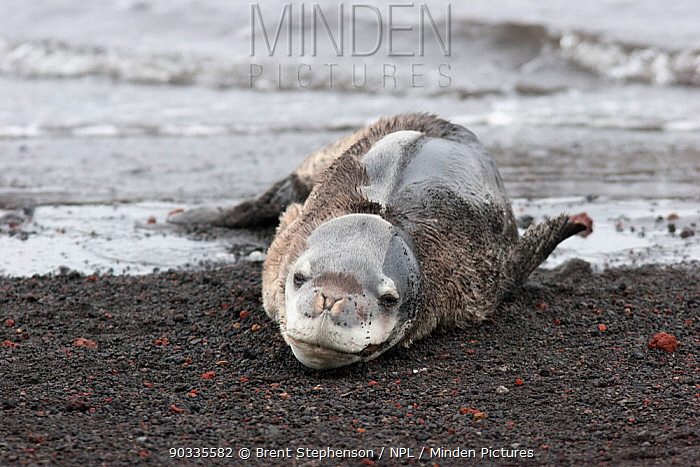 Very young Leopard Seal (Hydrurga leptonyx) lying on beach Deception Island, South Shetland Islands, Antarctica, January  -  Brent Stephenson/ npl