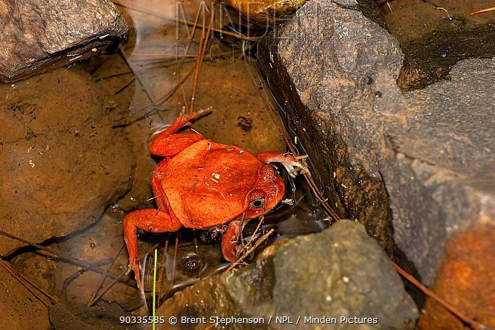 Tomato Frog (Dyscophus antongilii) in water near rocks Captive Ivoloina Zoological Park, Toamasina, Madagascar  -  Brent Stephenson/ npl
