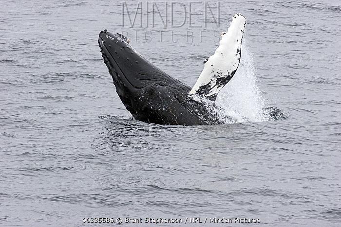 Humpback Whale (Megaptera novaeangliae) partial breach with flipper in air Near Bear Island, North Atlantic, June  -  Brent Stephenson/ npl