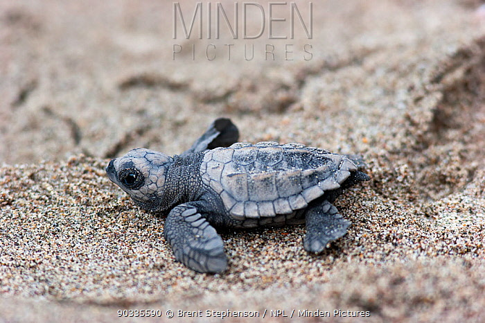 Hatchling Olive Ridley Sea Turtle (Lepidochelys olivacea) on sand making its way to the sea Captive raised hatchling released into the wild Mazatlan, Mexico, September  -  Brent Stephenson/ npl