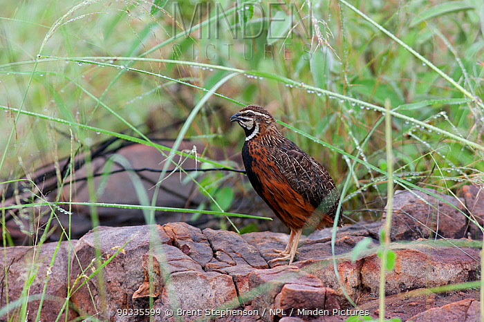 Male Harlequin Quail (Coturnix delegorguei) calling while perched a rock Near the Limpopo River, South Africa, January  -  Brent Stephenson/ npl