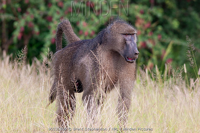 Male Chacma Baboon (Papio ursinus) walking through grass Kruger National Park, South Africa, January  -  Brent Stephenson/ npl