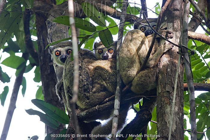 Family group of Western Wooly Avahi (Avahi occidentalis) roosting during the day in the tree tops Ampijaroa, Ankarafantsika National Park, Madagascar  -  Brent Stephenson/ npl
