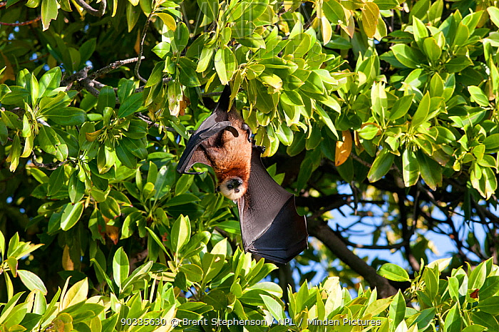 Male Aldabra Flying Fox (Pteropus aldabrensis) hanging upside in a mangrove bush with one wing open Aldabra Atoll, Seychelles  -  Brent Stephenson/ npl