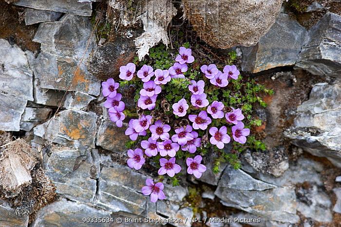 Purple Saxifrage (Saxifraga oppositifolia) in flower, growing in amongst cracks in a rock wall Krossfjord, Svalbard, July  -  Brent Stephenson/ npl