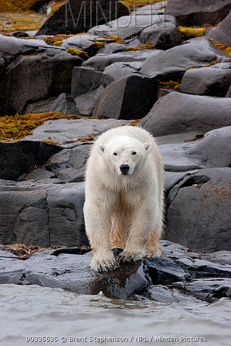 Polar bear (Ursus maritimus) standing on a rocky shoreline Russebukta, Svalbard, July  -  Brent Stephenson/ npl