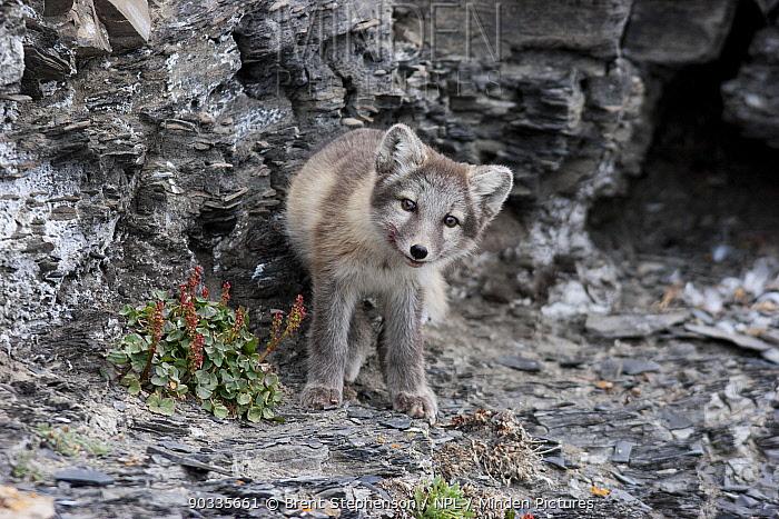 Arctic fox (Alopex, Vulpes lagopus) on a rocky ledge Diskobukta, Svalbard, July  -  Brent Stephenson/ npl