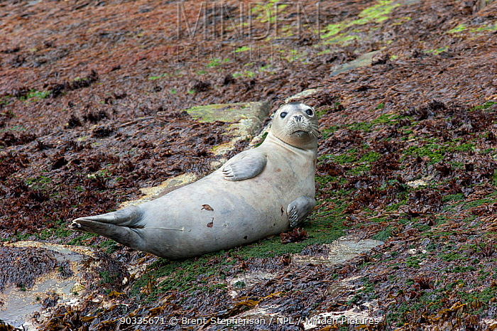 Grey Seal (Halichoerus grypus) lresting on the shoreline Isle of Noss, Shetland Islands, United Kingdom, June  -  Brent Stephenson/ npl
