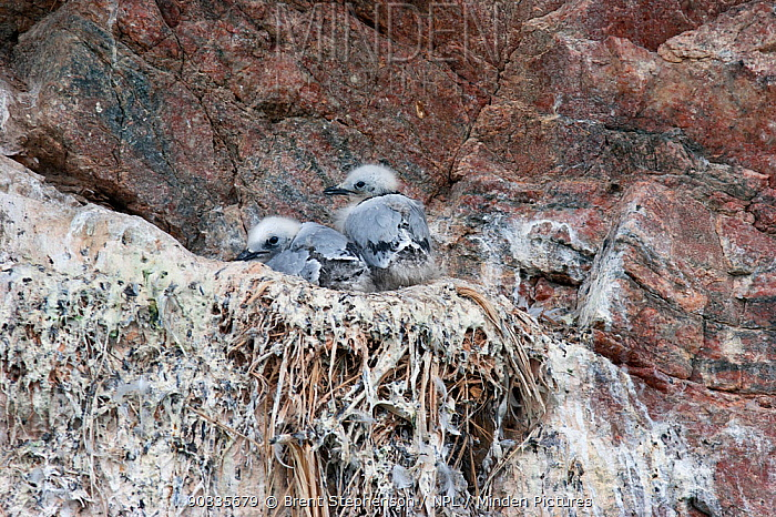 Two small Black-legged Kittiwake (Rissa tridactyla) chicks on their cliff based nest Arsuk Brae Fjord, South-western Greenland, August  -  Brent Stephenson/ npl