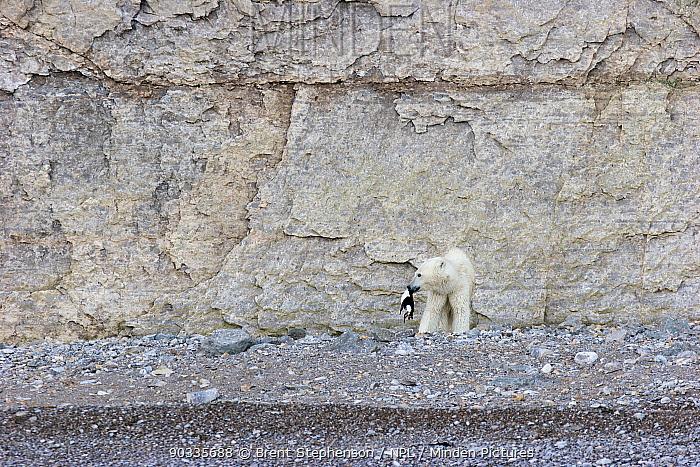 Polar Bear (Ursus maritimus) with a dead guillemot (or murre) (Uria sp) below the bird nesting cliffs on Akpatok Island, Nunavut, Canada, August  -  Brent Stephenson/ npl