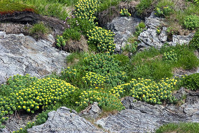 Roseroot (Rhodiola rosea) in bloom adjacent to the hightide line Storstappen Islands, Norway, July  -  Brent Stephenson/ npl