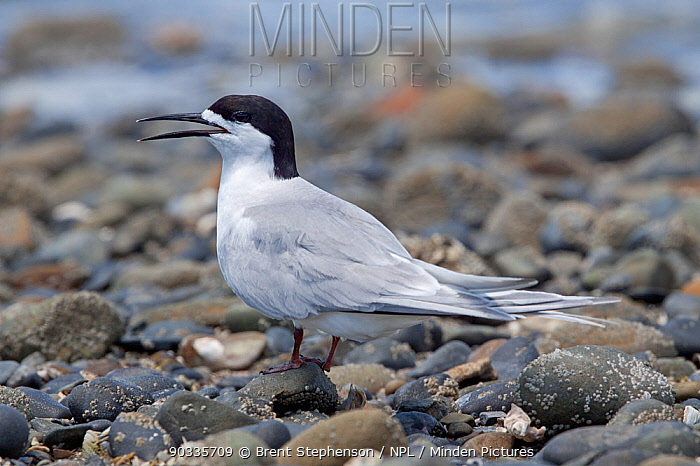 White-fronted Tern (Sterna striata) resting on stoney beach, in breeding plumage Panting with bill open due to heat Kaiaua, Auckland, New Zealand, December  -  Brent Stephenson/ npl