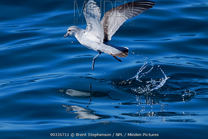 Fairy Prion (Pachyptila turtur) in flight bouncing off sea surface Hauraki Gulf, Auckland, New Zealand, October  -  Brent Stephenson/ npl