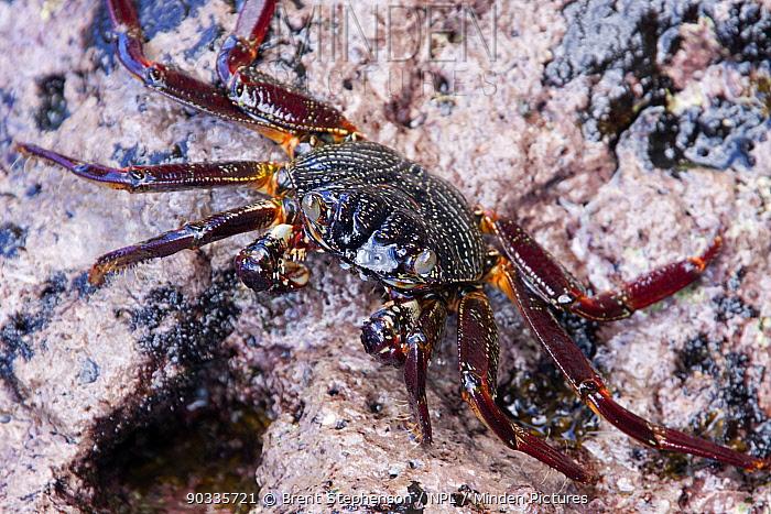 Weak-shelled Shore Crabs (Grapsus tenuicrustatus) on a wave platform Puamau, Hiva Oa, Marquesas, French Polynesia, November  -  Brent Stephenson/ npl