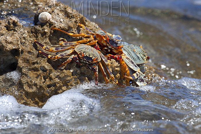 Weak-shelled Shore Crabs (Grapsus tenuicrustatus) on the reef edge with waves breaking Tahanea, Tuamotus, French Polynesia, November  -  Brent Stephenson/ npl