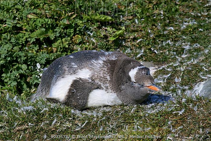 Gentoo Penguin (Pygoscelis papua) lying down whilst moulting on land Grytviken, South Georgia, South Atlantic, March  -  Brent Stephenson/ npl