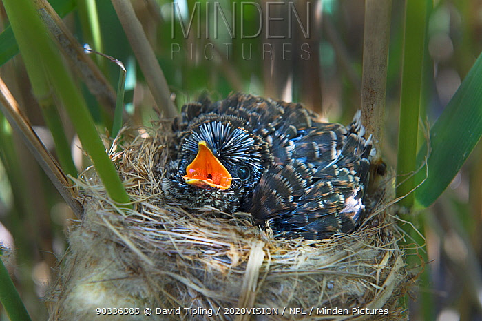12 day chick of European cuckoo (Cuculus canorus) in Reed warbler's (Acrocephalus scirpaceus) nest, East Anglian Fens, Norfolk, May  -  David Tipling/ 2020V/ npl