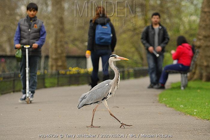 Grey heron (Ardea cinerea) walking across path in parkland, Regent's Park, London, UK, April 2011  -  Terry Whittaker/ 2020V/ npl