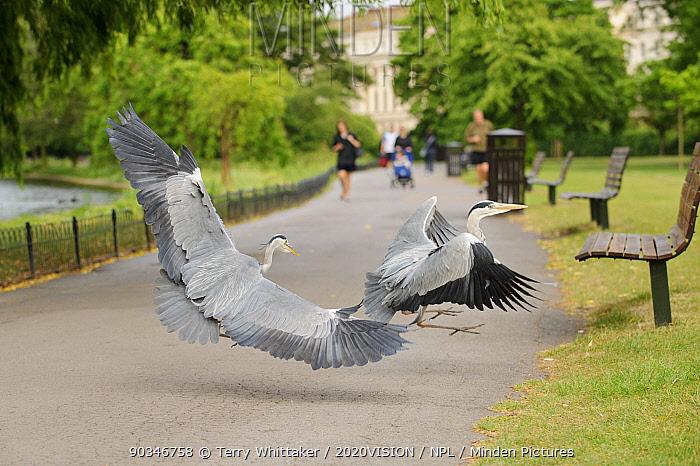 Grey heron (Ardea cinerea) fighting beside path in Regent's Park, London, UK, May 2011  -  Terry Whittaker/ 2020V/ npl