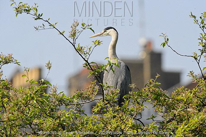 Grey heron (Ardea cinerea) in tree, Regent's Park, London, UK, May 2011  -  Terry Whittaker/ 2020V/ npl