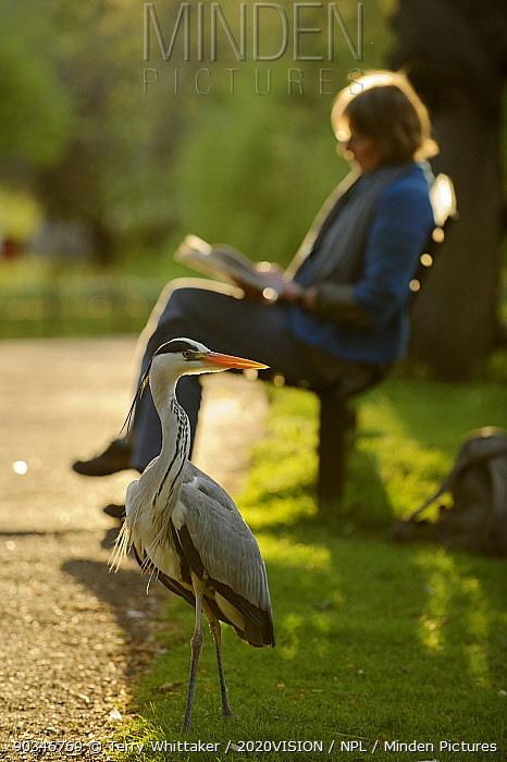 Grey heron (Ardea cinerea) beside visitor reading book on bench in Regent's Park, London, UK, April 2011 Model released  -  Terry Whittaker/ 2020V/ npl