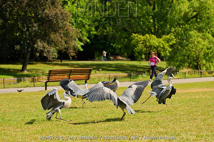 Grey herons (Ardea cinerea) squabbling in parkland with cancer charity fun-run participant in background, Regent's Park, London, UK, May 2011  -  Terry Whittaker/ 2020V/ npl