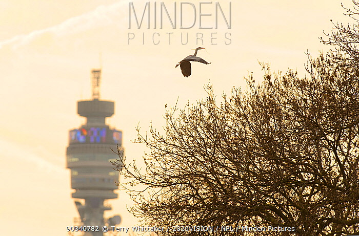Grey heron (Ardea cinerea) in flight carrying nesting material, flying over Regent's Park with the BT tower in the background, London, UK, April 2011  -  Terry Whittaker/ 2020V/ npl
