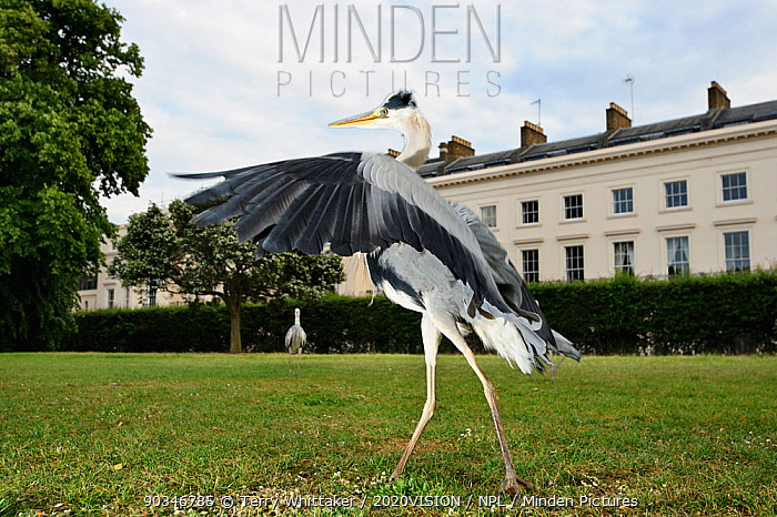 Grey heron (Ardea cinerea) displaying in Regent's Park, London, UK, April 2011  -  Terry Whittaker/ 2020V/ npl