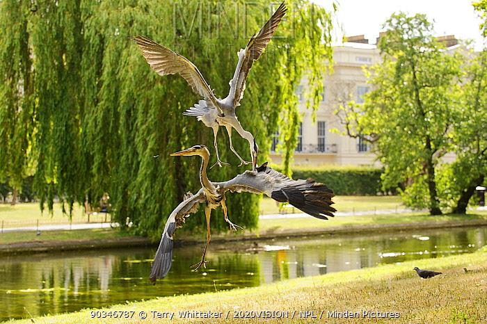 Two Grey heron (Ardea cinerea) adults fighting, Regent's Park, London, UK, May 2011  -  Terry Whittaker/ 2020V/ npl