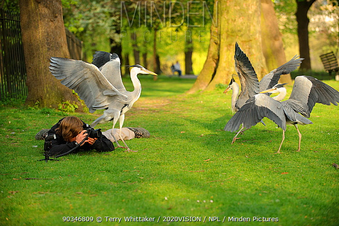 Young man photographing three Grey heron (Ardea cinerea) fighting in parkland, Regent's Park, London, UK, April 2011 Model released  -  Terry Whittaker/ 2020V/ npl
