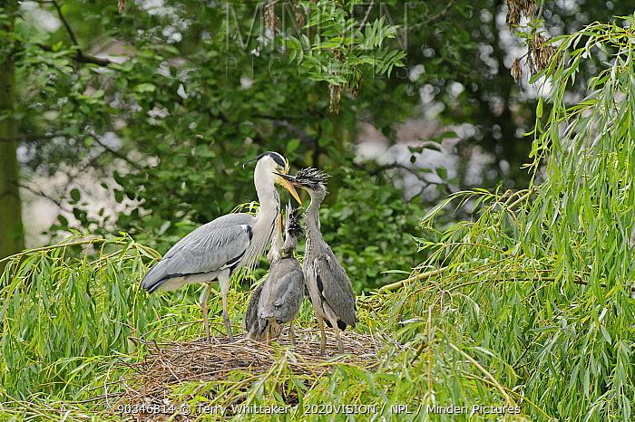Grey heron (Ardea cinerea) adult feeding chicks at nest in willow tree, Regent's Park, London, UK, May 2011  -  Terry Whittaker/ 2020V/ npl