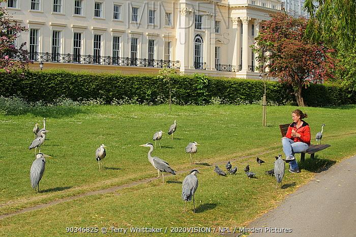 Visitor watching Grey heron (Ardea cinerea) and pigeons in Regent's Park, London, UK, April 2011, Model released  -  Terry Whittaker/ 2020V/ npl