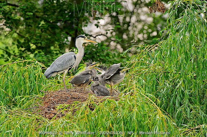 Grey heron (Ardea cinerea) adult and chicks at nest in willow tree, Regent's Park, London, UK, May 2011  -  Terry Whittaker/ 2020V/ npl