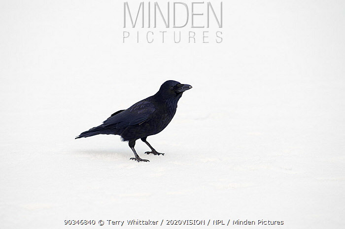 Carrion crow (Corvus corone) feeding on scraps on ice, River Tame, Reddish Vale Country Park, Stockport, Greater Manchester, UK, December 2010  -  Terry Whittaker/ 2020V/ npl