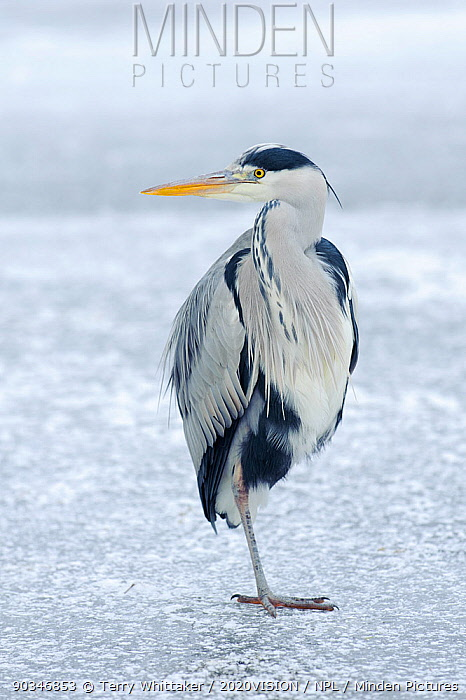 Grey heron (Ardea cinerea) standing on one leg on ice, River Tame, Reddish Vale Country Park, Stockport, Greater Manchester, UK, December 2010  -  Terry Whittaker/ 2020V/ npl