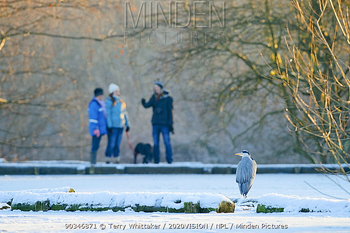 Grey heron (Ardea cinerea) on frozen ground with visitors to Reddish Vale Country Park, Stockport, Greater Manchester, UK, December 2010  -  Terry Whittaker/ 2020V/ npl