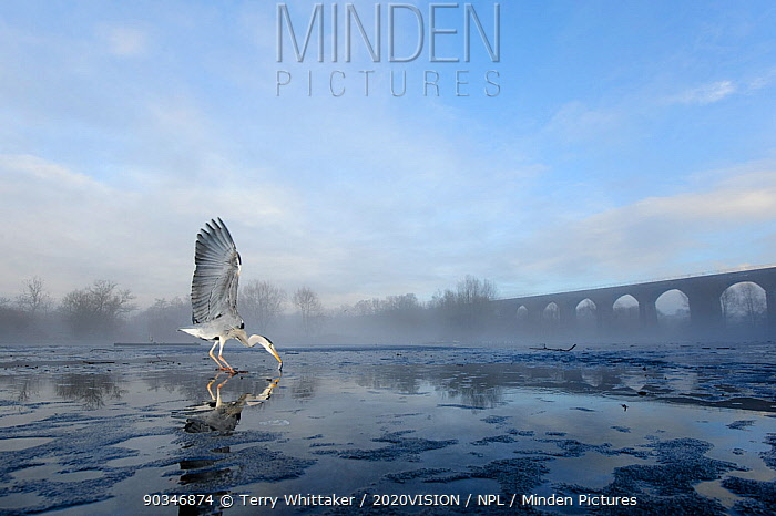 Grey heron (Ardea cinerea) on ice, feeding on fish fed to it by visitors, River Tame, Reddish Vale Country Park, Stockport, Greater Manchester, UK, December 2010  -  Terry Whittaker/ 2020V/ npl