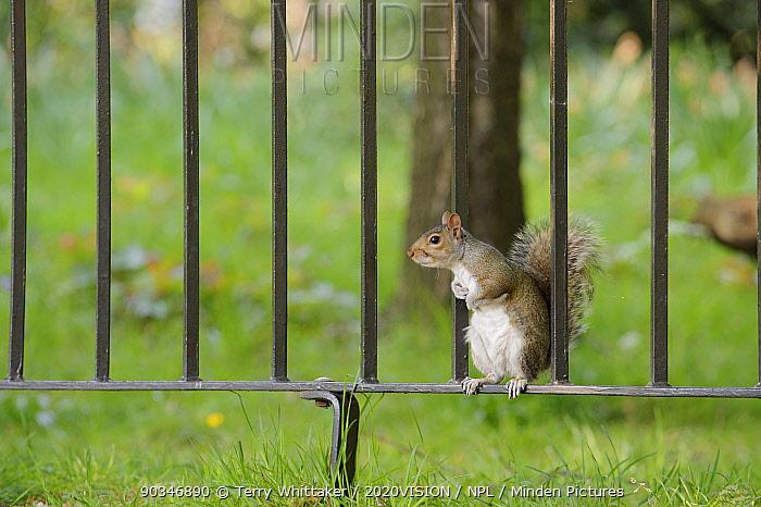 Grey Squirrel (Sciurus carolinensis) on fence, Regent's Park, London, UK, April 2010  -  Terry Whittaker/ 2020V/ npl