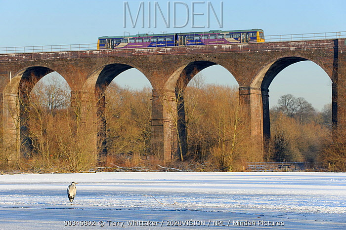 Grey heron (Ardea cinerea) on frozen river, River Tame, Reddish Vale Country Park, Stockport, Greater Manchester, UK, with Northern Rail train on viaduct in the background, December 2010  -  Terry Whittaker/ 2020V/ npl
