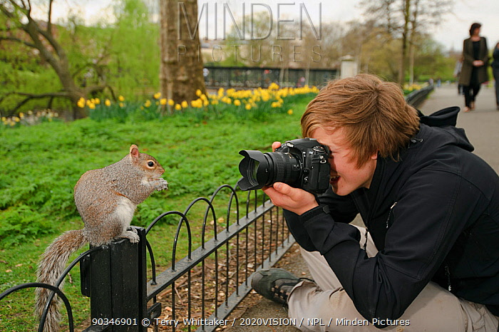 Young man photographing Grey Squirrel (Sciurus carolinensis) on fence in parkland, Regent's Park, London, UK, April 2011, Model released  -  Terry Whittaker/ 2020V/ npl