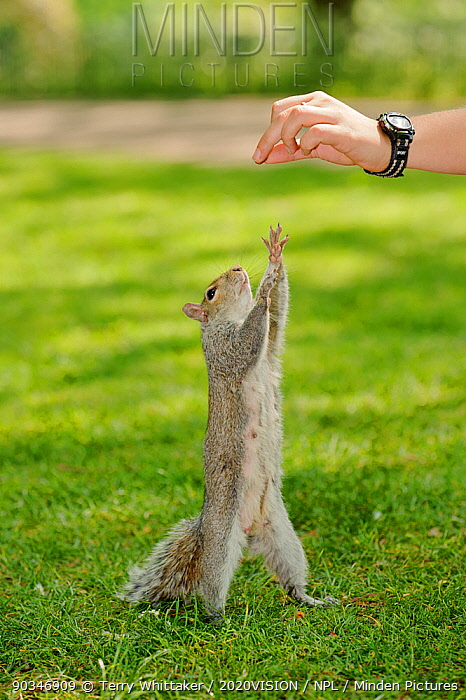 Young woman hand feeding Grey squirrel (Sciurus carolinensis) in parkland, squirrel reaching up for nut, Regent's Park, London Model released  -  Terry Whittaker/ 2020V/ npl