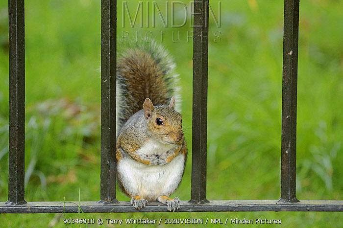 Grey Squirrel (Sciurus carolinensis) on fence in parkland, Regent's Park, London, UK, April 2010  -  Terry Whittaker/ 2020V/ npl