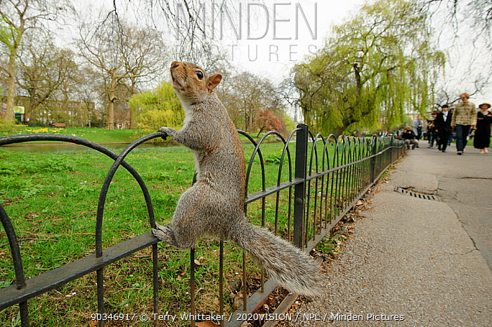 Grey Squirrel (Sciurus carolinensis) climbing fence in parkland, Regent's Park, London, UK, April 2011  -  Terry Whittaker/ 2020V/ npl