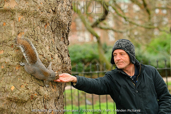 Man reaching out to hand feed Grey squirrel (Sciurus carolinensis) in parkland, Regent's Park, London Model released  -  Terry Whittaker/ 2020V/ npl