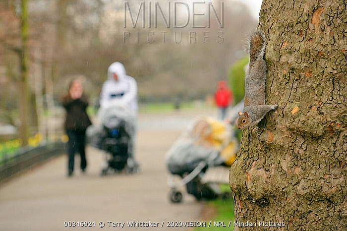 Grey Squirrel (Sciurus carolinensis) on tree trunk beside visitors in parkland, group with children in pushchairs, Regent's Park, London, UK, February 2011  -  Terry Whittaker/ 2020V/ npl