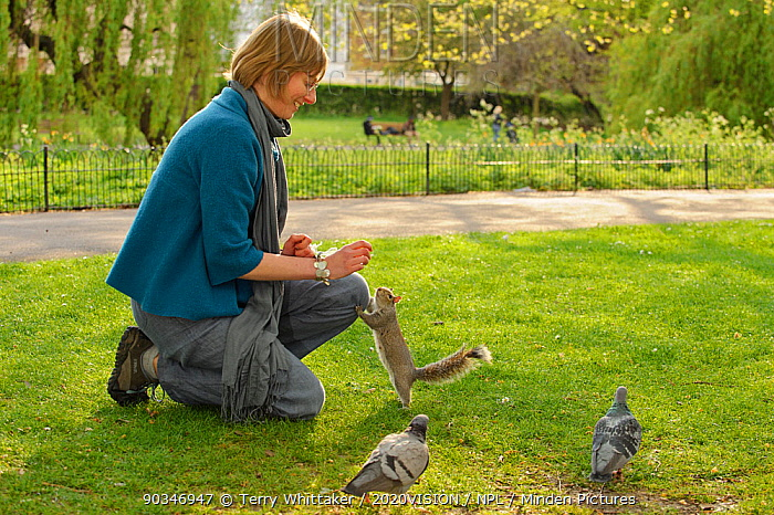 Woman crouching down to feed Grey Squirrel (Sciurus carolinensis) in parkland, Regent's Park, London, UK, April 2011, Model released  -  Terry Whittaker/ 2020V/ npl