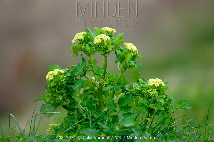Alexanders (Smyrnium) in flower Portland, Dorset, UK, March  -  Colin Varndell/ npl