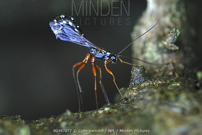 Ectoparasitic Ichneumon Wasp (Ichneumonidae) probing into pine bark with ovipositor Dorset, UK, June  -  Colin Varndell/ npl